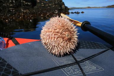 Sea_urchin_summer_iles.JPG