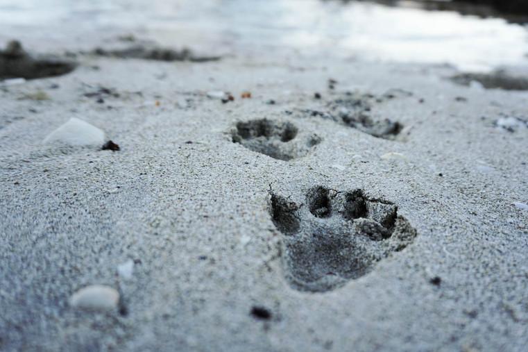 otter_prints_on_a_lofoten_beach.jpg