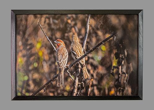 Finches in Der Haus 26x18