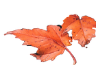 Red Leaves_edited.png