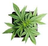 Hemp Plant From Aboce.png