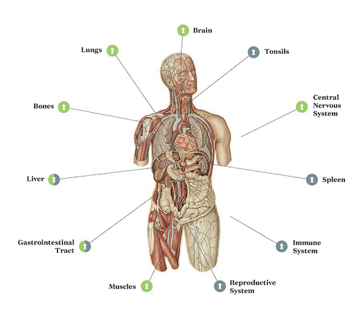 Endocannabinoid System (ECS) with CB1 & CB2 Receptors outlining throughout the human body.