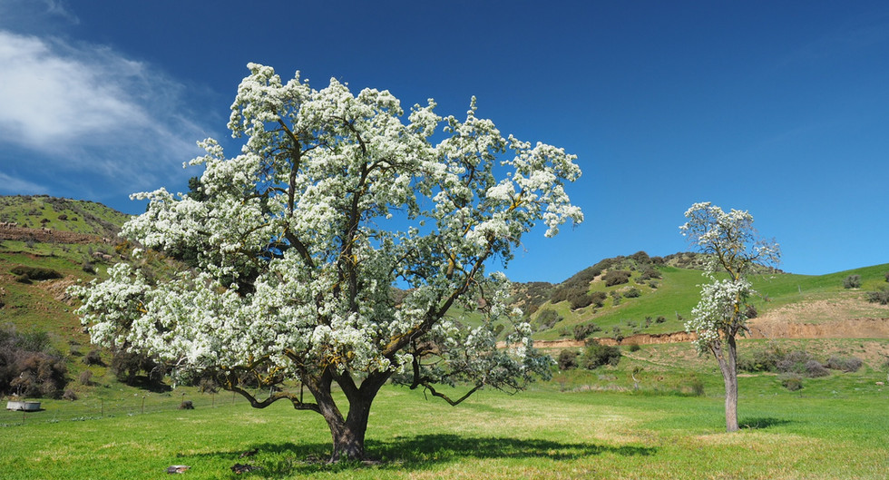 100 year old pear trees