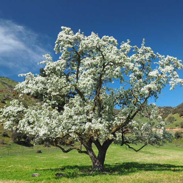 100 year old pear tree