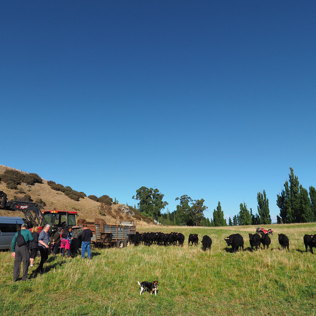 Visitors meeting our cattle