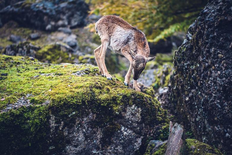 Sika-Hirsch im Tierpark