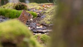 L'Ecureuil roux.