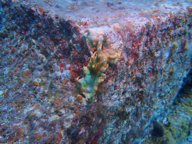 Fire coral on IntelliReefs.
