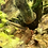Thumbnail: Dwarf Hovering Loach
