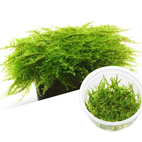 Versicularia Montagnei Christmas Moss ADA