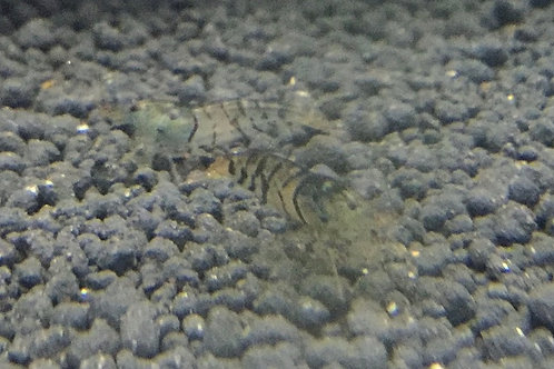 Original Tiger Shrimp