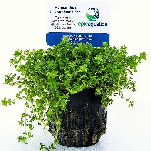 HM Hemianthus Micranthemoides