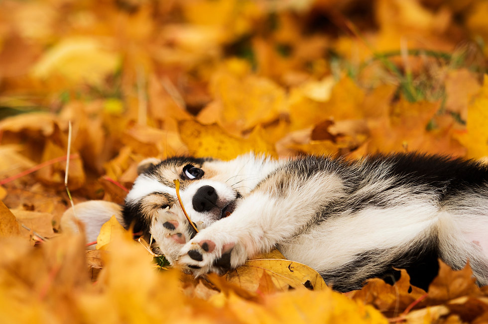 welsh corgi puppy in autumn leaves.jpg