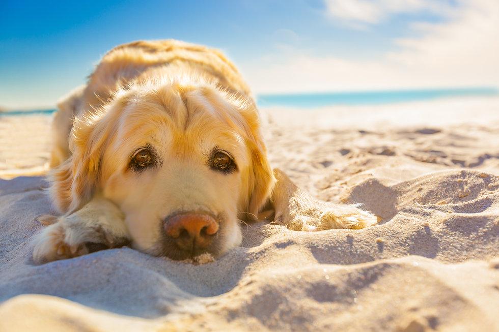 golden retriever dog relaxing, resting,o