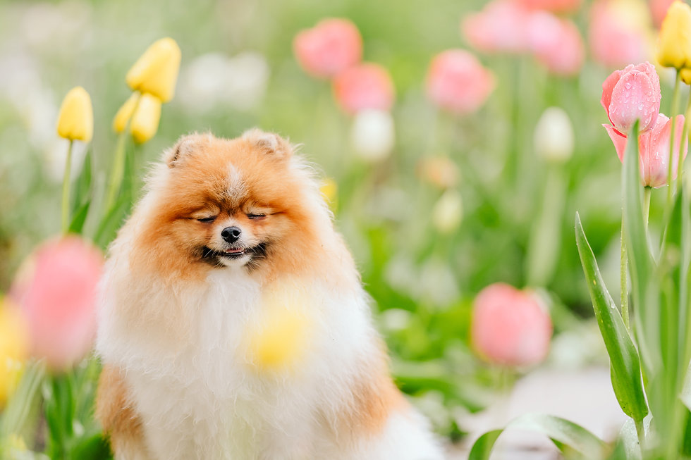 Cute fluffy dog smiles while sitting