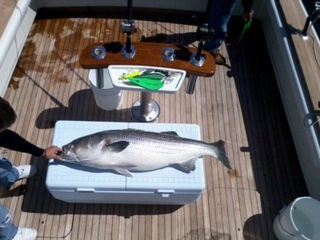 Jim E. Brick NJ Striper with Green 10.jp