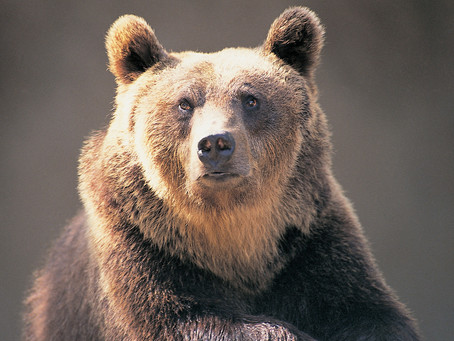 Urso é condenado à morte na Itália por atacar humanos