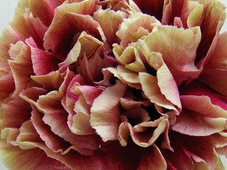 Carnations... Cool or just Old school? You Decide at York's Hospitium Spring Wedding Fair