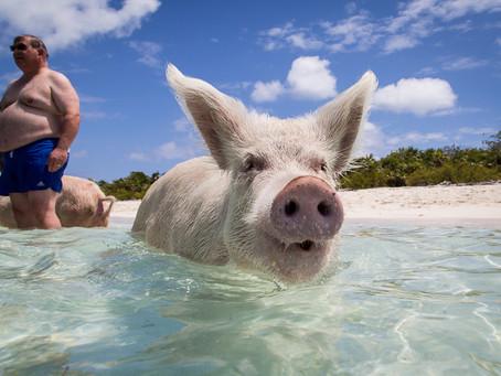 Bahamas : nager avec des cochons