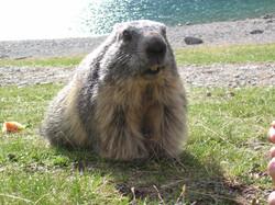 Marmotte au lac du Lauvitel