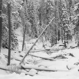 Sequoia in Snow