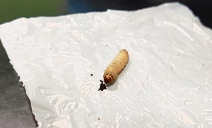 Waxworm%20Rob%20Henderson%206_edited.jpg