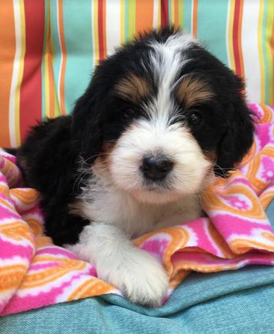 Ohio | Poodles & Doodles | Past Puppies