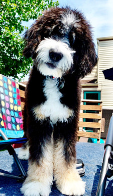Bernedoodles For Sale | Ohio | Celebration Poodles & Doodles | Ohio Bernedoodles For Sale