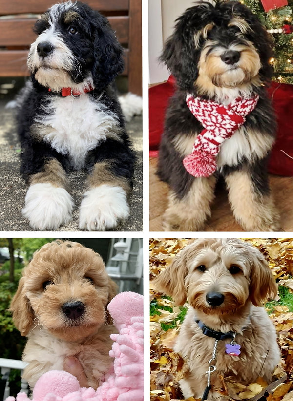 Ohio | Bernedoodles | Goldendoodles | Poodles | For Sale | Puppies