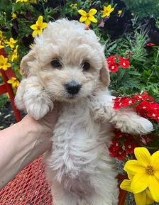 Mini - Goldendoodles - Ohio Celebration Poodles & Doodles
