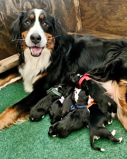 Jersey Bernedoodle Puppies