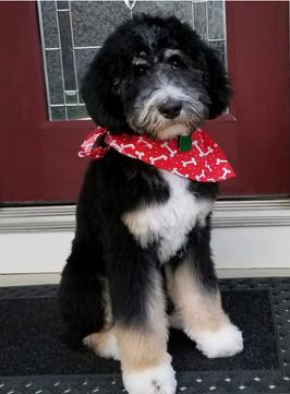 Bernedoodles For Sale | Ohio | Celebration Poodles & Doodles | Ohio Bernedoodles For Sale