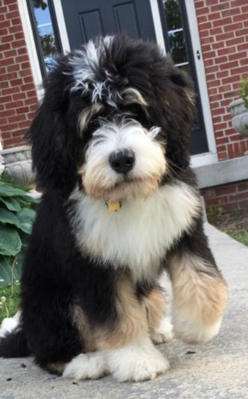 Ohio   Poodles & Doodles   Past Puppies