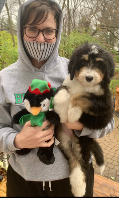 Bernedoodle COVD 19 Puppy Sales