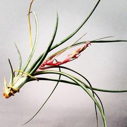 Tellandsia Kendra in bloom