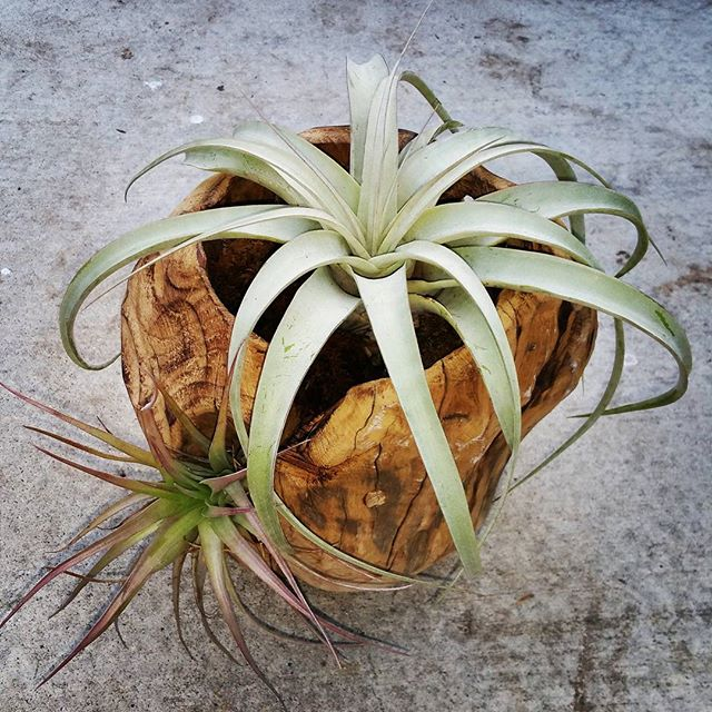 T. Xerographica in hand carved wood