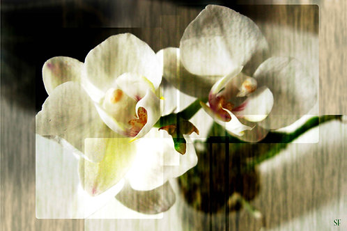 Masked Orchids