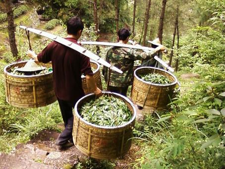 Этапы производства различных классов чая
