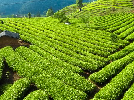 Чайные провинции юга-запада Китая