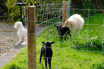 lambs watching a dog