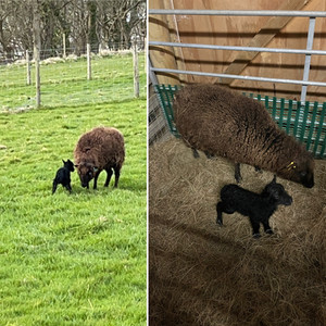 We're pleased to announce that our lambing has started!