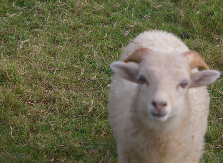We currently have sheep for sale!