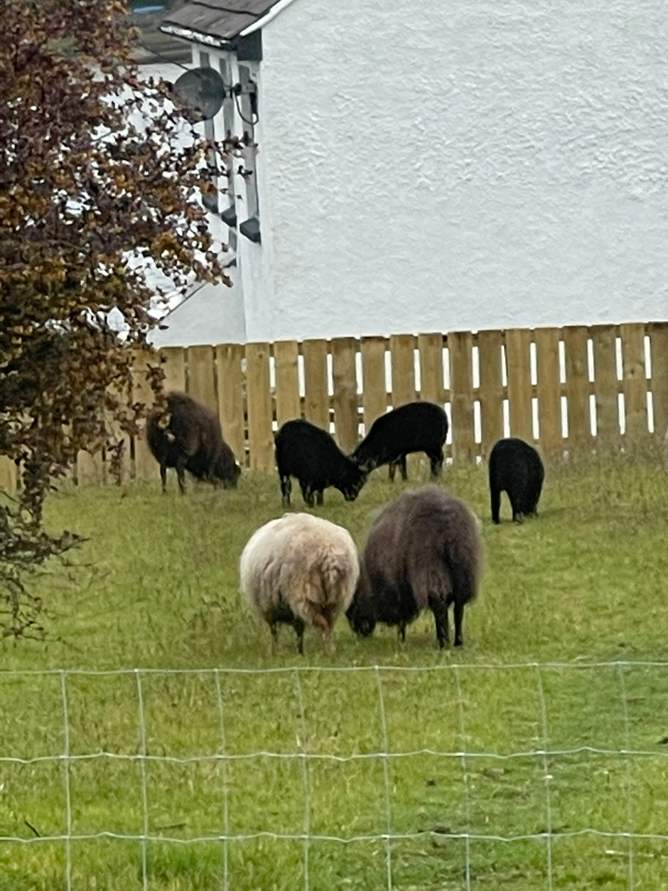 Ouessant lambs for sale!