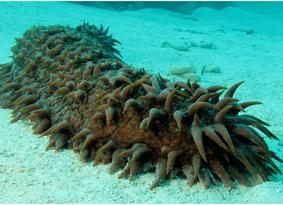 De ziekte bestrijdende zeekomkommer