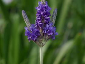 Lavendel   Een prachtig paars kruid