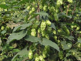 Hop   Een fantastische plant dat gebruikt wordt in bier