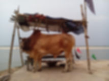 Cow by the Ganges