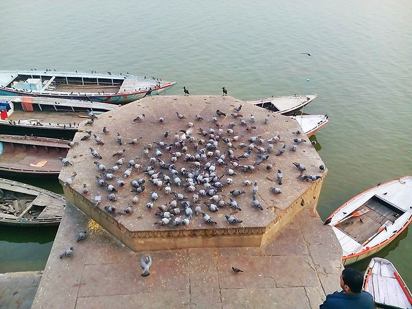 Pigeons at the Ganges