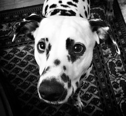 Daso the Dog