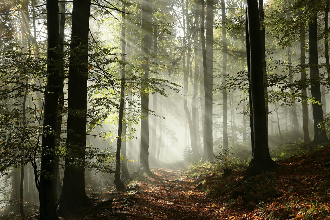 A forest path through deciduous trees. Fog obscures the end of the path, and sunbeams shine through the fog. The photo is gentle shades of grey, green, and brown.